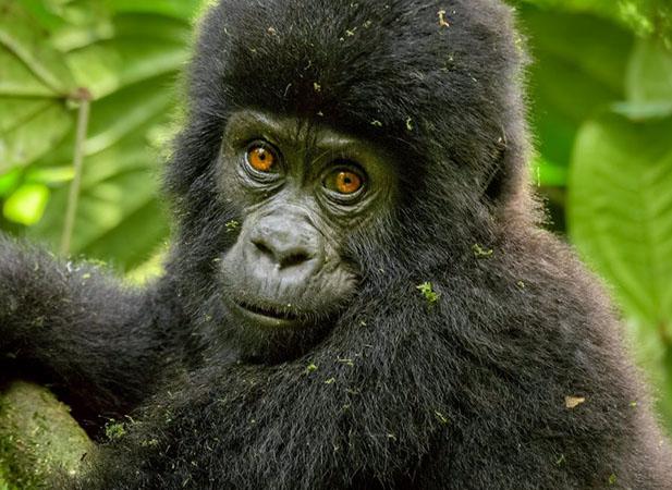 Montain Gorilla Trekking