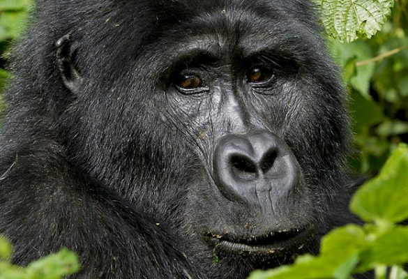 4 Days Gorillas & Volcano Hike