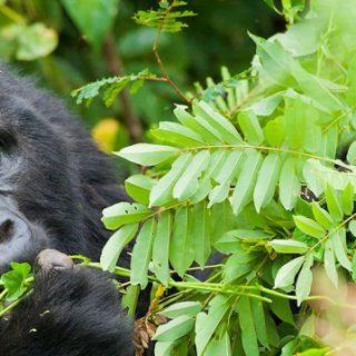 3 Days Bwindi Gorilla Trekking Safari