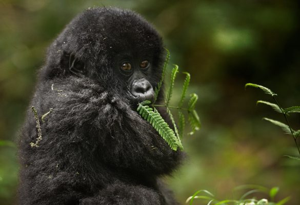 7 Days Uganda Primates & Wildlife Tour