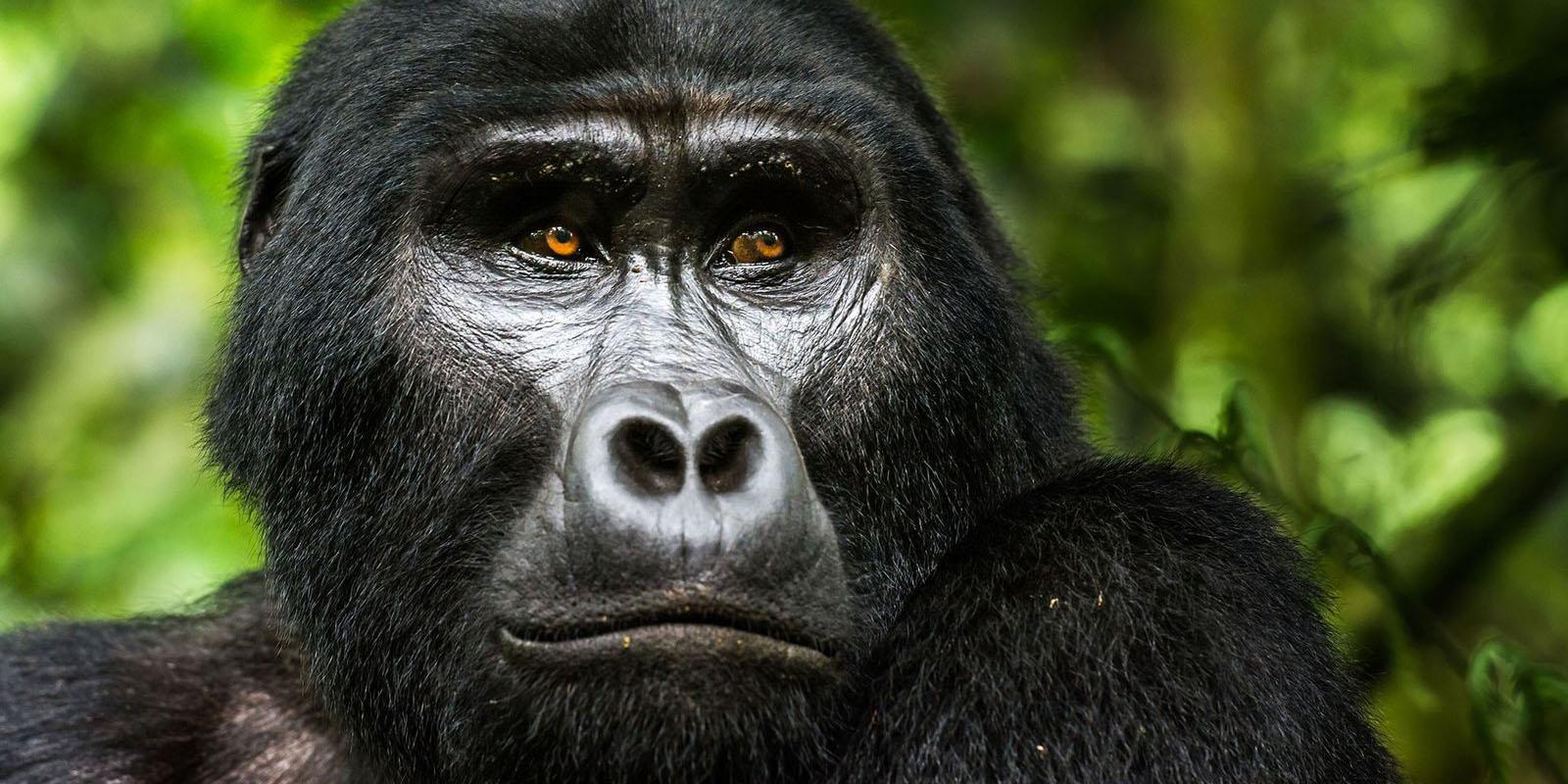 Uganda gorilla trekking company