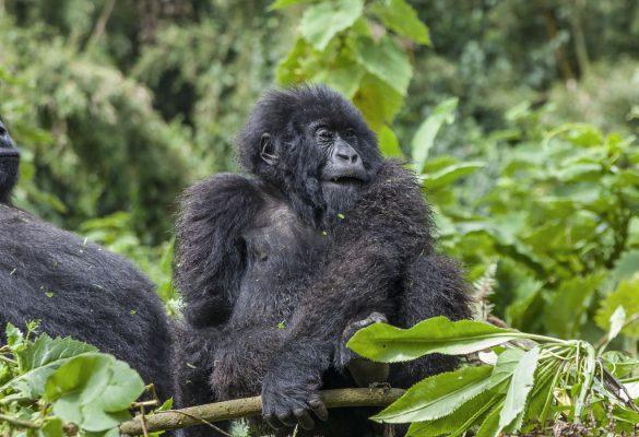 5 Days Uganda Gorillas & Chimps from Kigali