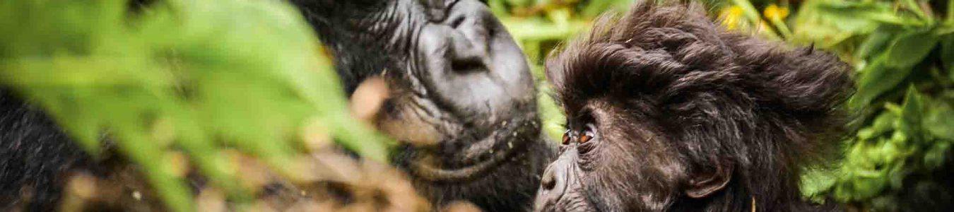 3 Days Rwanda Gorilla Safari in Volcanoes