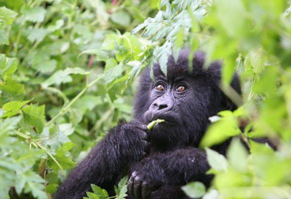 11 Days Uganda, Rwanda & Congo Safari Holiday