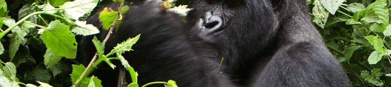3 Days Congo Gorilla Trek in Virunga