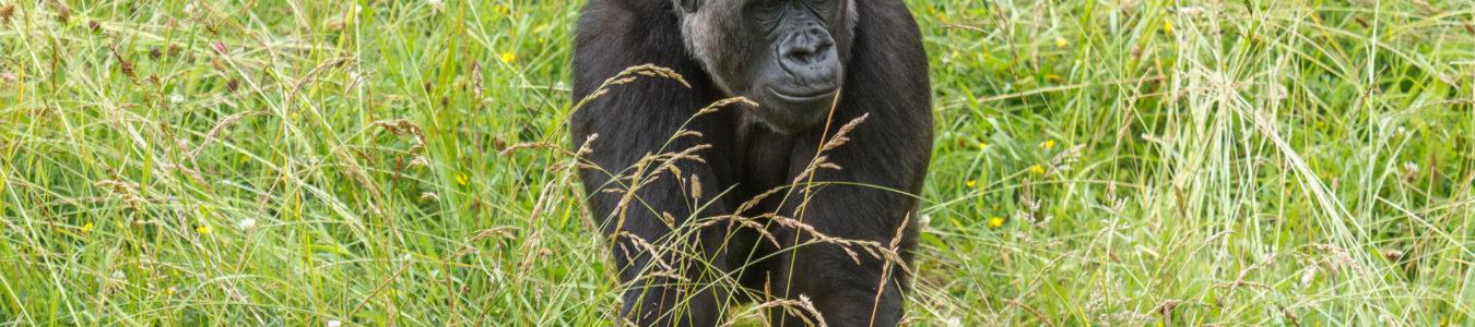 3 Days Congo Lowland Gorillas in Kahuzi-Biega