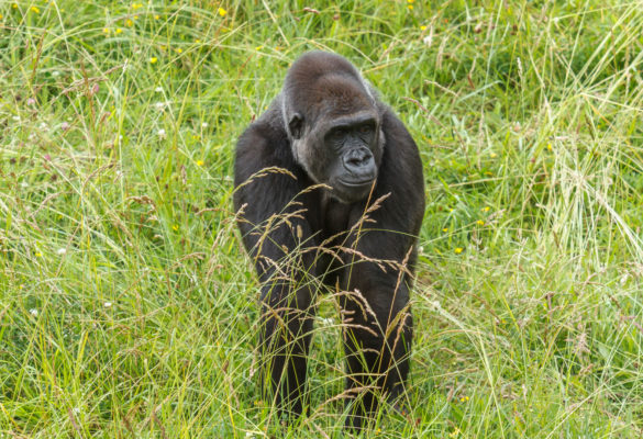 3 Days Congo Lowland Gorillas in Kahuzi-Biega