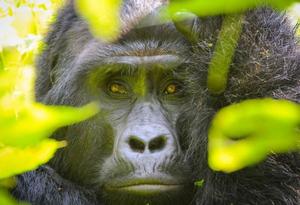 4 Days Rwanda Uganda Gorilla Trek